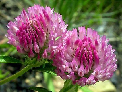цветы красного клевера