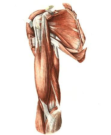 мышцы и связки плечевого сустава