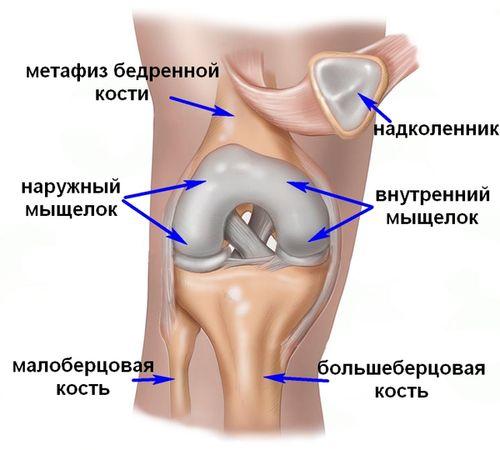 Строение колена: мыщелки, надколенник
