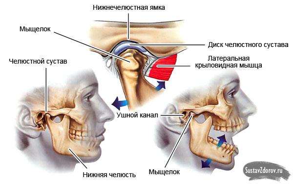строение челюстного сустава