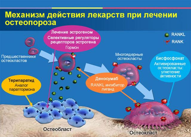 механизм действия лекарств от остеопороза
