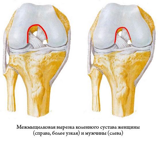 межмыщелковая вырезка коленного сустава у мужчин и у женщин