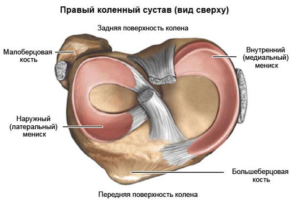 мениски правого колена (вид сверху)